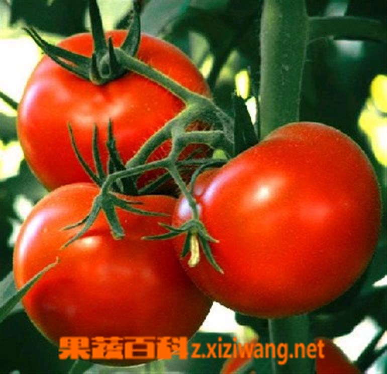 果蔬百科番茄红素